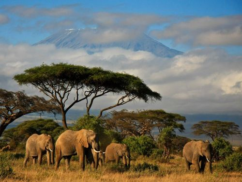elephants in amboseli national park, kenya, with mt kilimanjaro in the background.                                                                                                                                       photography by danielle mussman.