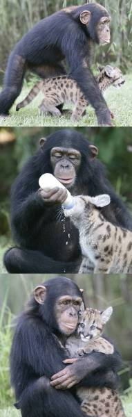 A chimpanzee adopts an orphaned puma cub.