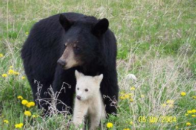 Black Bear and White Cub Bridging Gaps in the Wild.