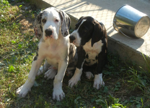 Watch These Great Dane Puppies Grow Up, 24/7 Learning to be a service dog is hard work, but it sure is cute. That's why explore.org has launched a brand new 24/7 live cam where you can watch a six pack of Great Dane pups grow up big and strong. (And we do mean big.) It's part of the Service Dog Project, based in Ipswich, MA, which will train these puppies to become balance support dogs to aid those with walking impediments. What are you waiting for? Tune in!