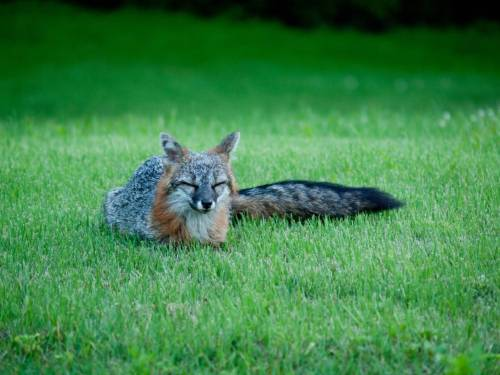 "Fox Caught Napping in Neighbor's Yard A gray fox named Cassidy was startled awake when a neighbor caught him napping right out in his back yard. ""You don't see me goin' around sleeping on people's patios,"" Jerry Ableton tells The Fluffington Post. ""Why's he gotta sleep on my lawn? I just put down new seed."" Via Egasbarino."