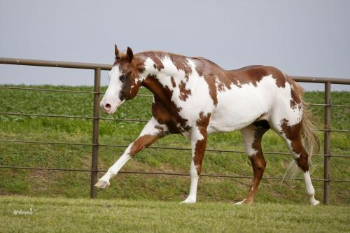 Scenic Royal Flush 2008 AQHA/APHA/PtHA Stallion HBF Iron Man x Factory Surplus