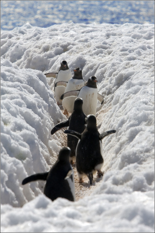 llbwwb:  Turn around! It's time for Animal Hour:) (via THE LIFE Penguin - Игорь Гущин - LensArt.ru)