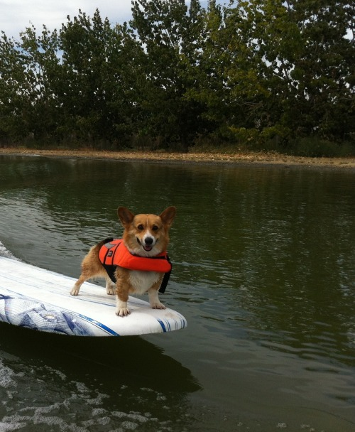 corgiaddict:  Chewey Hanging 10… like a boss!