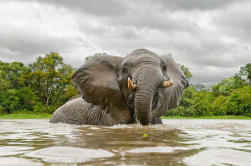 Elephant on a tributary of the Zambezi River, Zimbabwe 'This was part of a project photographing wildlife in water,' says Chris Weston. 'The elephant shook his head in warning, a message for me to stay back and encroach no further. Listening to the messages animals send through body language is all a part of a successful shoot.' Chris Weston