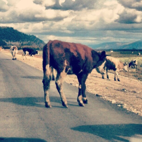 Cows on road #Buryatia #Russia #republic #road #cow #animal #mountain #sky #way #agriculture #field #grass #view #asphalt #porusski #photooftheday #photomania #imageoftheday #picoftheday #instaddict #instamood #instabody #instabeauty  (Taken with Instagram at Турка)