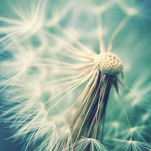 "redbubble:  ""Not sure when you stop thinking dandelions are beautiful…"" by Claire Penn card, print, or poster on RedBubble"