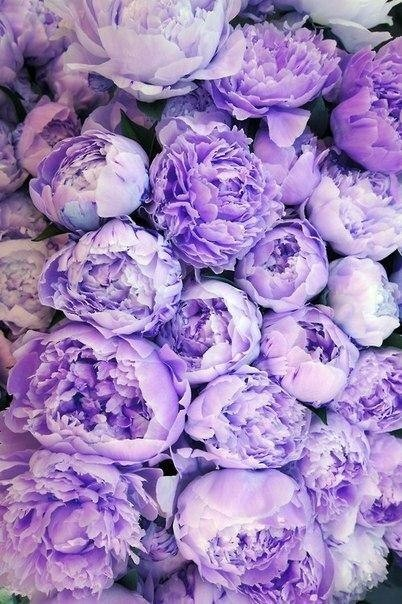 (via Piccsy :: Purple peonies)