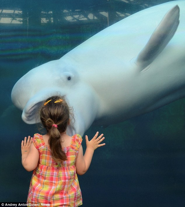 error888:  Open wide! Incredible photos make white Beluga whale look like he's about to swallow girl, 3, in one gulp | Mail Online