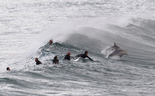 Surfers wait for waves as dolphins frolic in the water at Bondi Beach in Sydney.  Picture: REUTERS/Daniel Munoz
