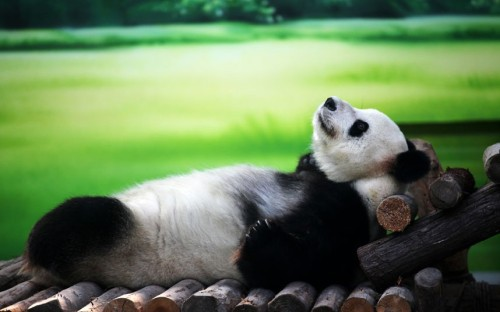 theanimalblog:  Ten-year-old giant panda Xin Yue chills out at Taihu Lake National Wetland Park in Suzhou, China.  Picture: China Foto Press / Barcroft Media