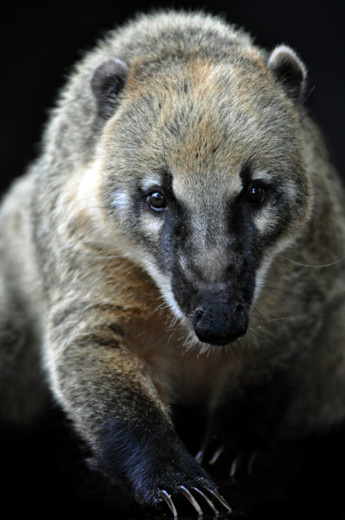 Coati, also known as Brazilian Aardvarks.