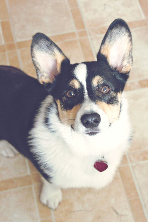corgiaddict:  Watson looking innocent. He is not.