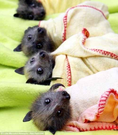 magicalnaturetour:  Bats in Blankets ~ Photo credit: Luke Marsden/Newspix/Rex Features via Buzzfeed :)