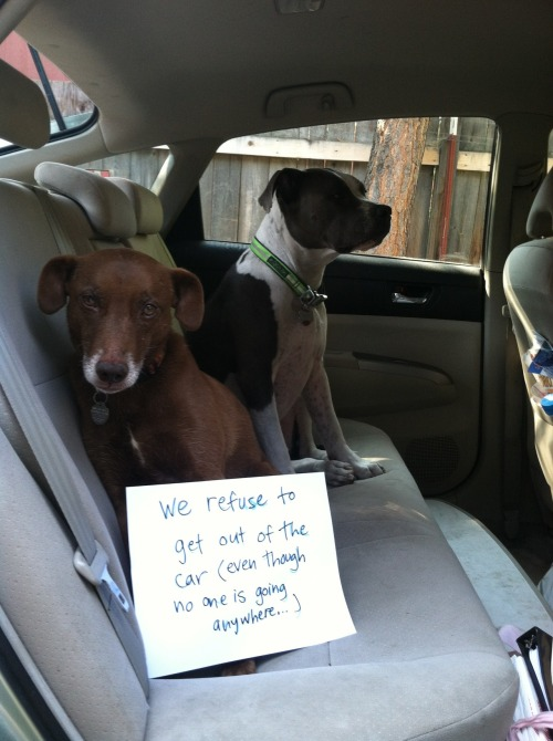 dogshaming:  Mom waxed the car this morning and four hours later they are still in there… but that doesn't keep them from barking at passing strollers…