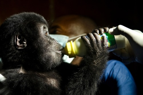 Two baby gorillas rescued in Congo; escalation of smuggling feared (Photo: Luanne Cadd / Virunga National Park) Two orphaned baby gorillas rescued in Congo were being cared for Tuesday by national park staff who fear their plight might signal a new escalation of wildlife smuggling by rebel groups fighting each other and Congo's army. Read the complete story.