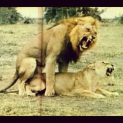 Get in there!! #lion #sex #wildsex #jungle #junglesex #wild #animal #instapic #instagram #picoftheday  (Taken with Instagram)