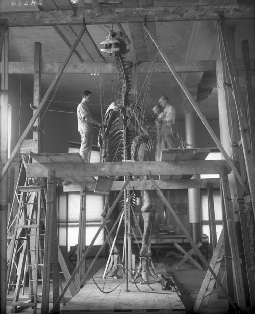 Another amazing shot from the archives: Museum staff work on mounting a duck-billed dinosaur, 1916Explore all the photos from the Picturing the Museum collection here: http://bit.ly/l8nOsp© AMNH Library/Image #34799