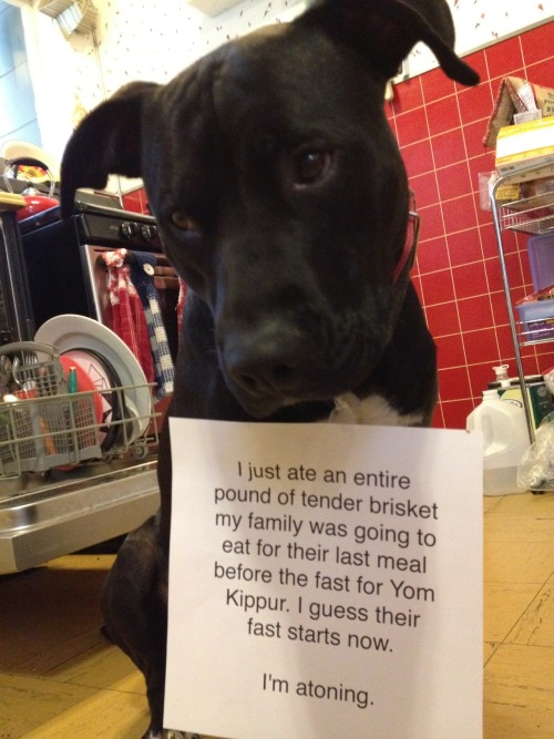 dogshaming:  Louis our pitbull atones for eating our Yom Kippur pre-fast meal.