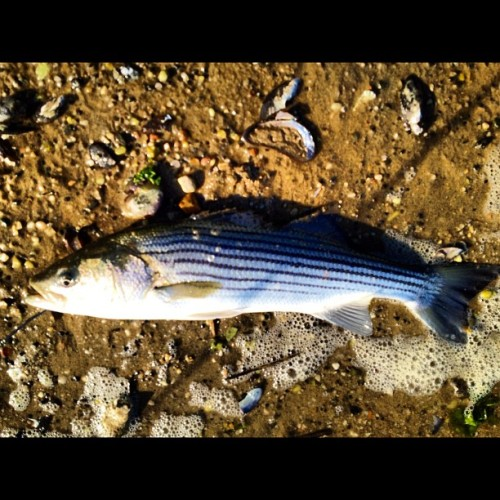 Eating well to tonight. #fishing (Taken with Instagram at Short Beach)