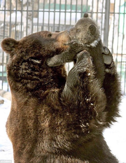 "An unusual site in a Russian Zoo as this male bear, Balu, is very playful, affectionate and kisses his 4-year-old daughter, Diva.  Father bears usually pay little attention to their cubs leaving the cub-rearing up to the mother as the father goes hunting.  Balu and his ""wife"", Masha, were rescued from poachers in 2002.  The close bond that the parents share could be why Balu has been taking on some of the female roles, such as protecting the cub and teaching them how to swim and live in the wild.  Masha seems at complete ease and trusts him with the young cubs, also unusual.  Photo by Caters News Agency."