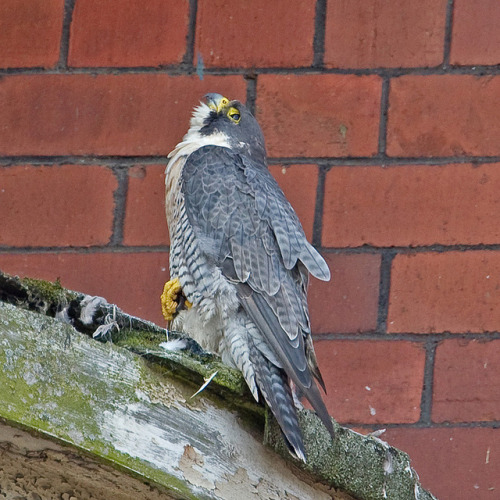 Peregrine Falcon by Richo14 on Flickr.