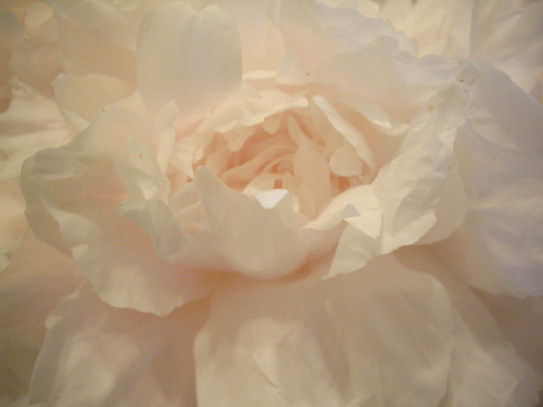 garden pale pink peonies ruffled