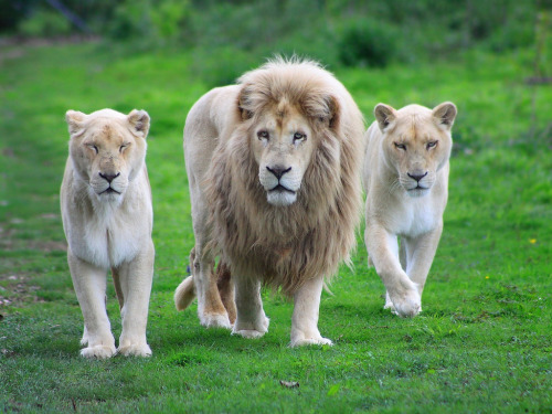 llbwwb:  Lion blanc Punky (by home77_Pascale)