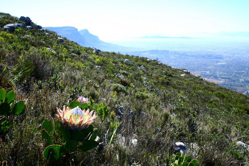 King protea, Table Mountain, South Africa. Proteia-rei, Montanha da Mesa, África do Sul. Photo copyright: Louis Joubert