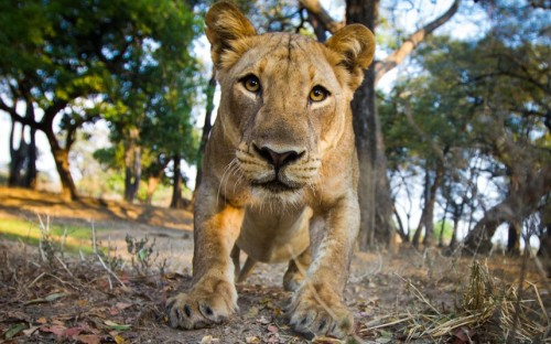 A lioness comes in for a closer look at BeetleCam, a remote-controlled, camouflaged camera, in Luangwa, Zambia. BeetleCam allows Will Burrard-Lucas to capture intimate snaps of some of the continent's most fearsome animals without the risk of being savaged. Picture: Burrard-Lucas / Barcroft Media