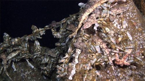 Swarm on a Deep Sea Shipwreck Look closely…what do you see? If you said sharks, you're right. This image, captured during the Deepwater Canyons 2012 expedition, shows a shipwreck covered with chain catsharks. The wrecks provide food and shelter for the sharks, and evidently, the sharks are pretty comfy hanging around the wrecks.  However, when these typically harmless sharks decide to attack the remotely operated vehicle, read what happens:  http://oceanexplorer.noaa.gov/explorations/12midatlantic/logs/sept24/sept24.html. (via: NOAA Office of Ocean Exploration and Research)