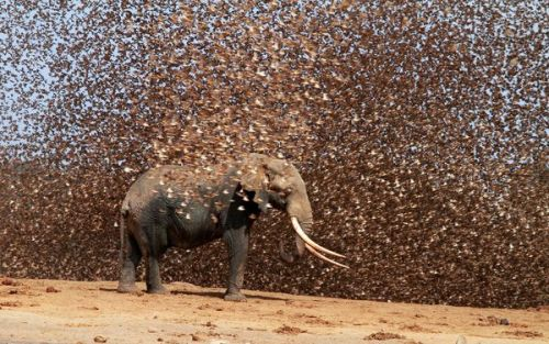 an elephant surrounded by red-billed queleas                                                                                                                            photography by antero topp,   HBW/rex