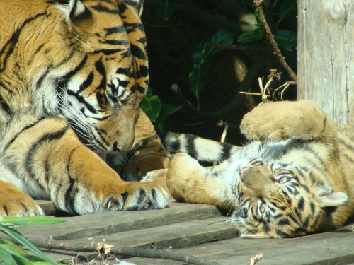 Tiger and her cub at Chester Zoo. | Submitted by: aimeeeeeeeee