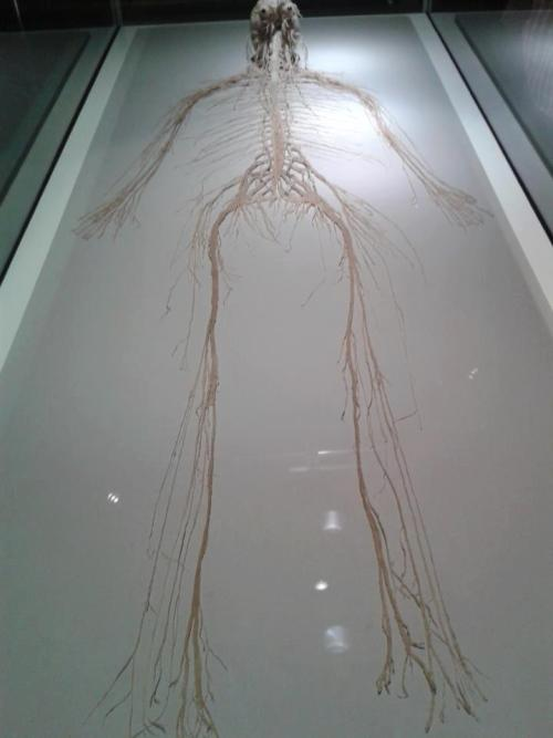 dichotomization:  The central and peripheral nervous system of a human being.