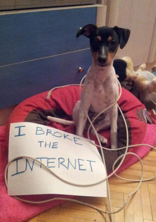 dogshaming:  I broke the internet!