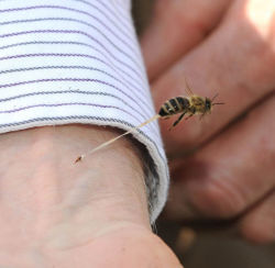 The honeybee's final sting