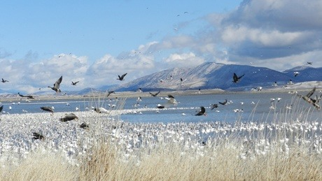 "Conservation groups say one of the largest wetlands on the West Coast has been allowed to go virtually dry this fall. The Klamath Basin refuges are a key stop for migrating tundra swans and snow geese, says Steve Pedery of Oregon Wild. ""The wetlands in these refuges are really the smallest point in the hourglass,"" he said. ""This is where these birds stop to rest, to feed and sort of refuel before they continue the next leg of their migration."" Pedery says this year, the refuges have just a quarter of the water they need to support the fall migration. His group and others want the U.S. Bureau of Reclamation to send more water to the wetlands. The Bureau of Reclamation is in charge of water diversions in the Klamath basin. A spokesman for the bureau says the agency is legally required to deliver water to farmers and to salmon first, and he is hopeful Reclamation will able to release more water into the refuges in October."