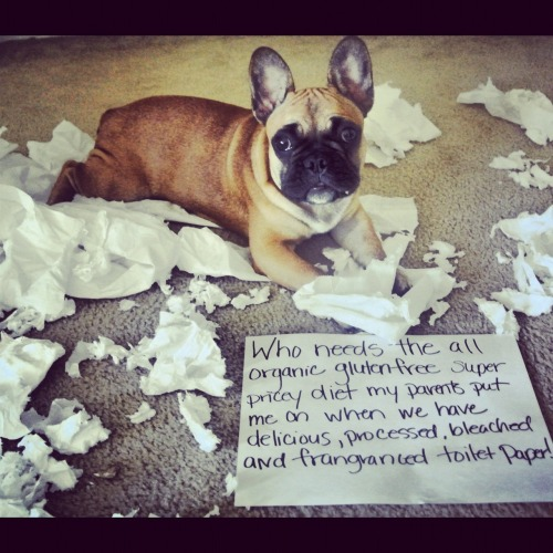 dogshaming:  Adorable frenchie eats all the toilet paper.