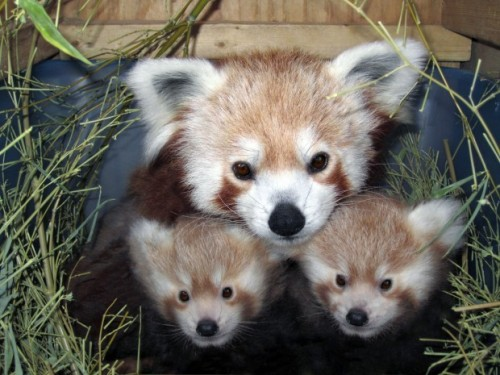 """Disney is rewriting the red panda reproduction book."" If that doesn't draw you in, I don't know what will. (Click on the pic for the story.)"