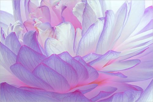 cornersoftheworld:  Purple Lotus Petals (by Bahman Farzad)