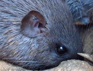 "Spiny mice are some of the most aptly named animals around. They are rodents, related to mice and rats, and their backs are covered with spiny hairs rather like those of hedgehogs, albeit not as rigid. Although a hedgehog's spines are defensive, those of spiny mice are probably too soft to hurt a predator. They might turn out to be sensory organs, a little like whiskers. Ecologists in Kenya would sometimes catch a live spiny mouse in a trap and try to pick it up, but to no avail. ""Often it would take off and they'd be left with a piece of skin in their hands,"" says Ashley Seifert of the University of Florida in Gainesville. Sceptical but intrigued, Seifert travelled to Kenya to see for himself. … Like many animals that display autotomy, spiny mice can regenerate their lost tissues rapidly, just as salamanders can regrow tails. Spiny mice regrow the skin on their backs, including the normal hairs and the spines, and without scarring.  (Click image for article)"