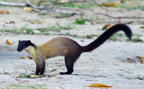 furry-and-feathered:  Yellow-throated marten (martes flavigula). Just look at those curves, they're really beautiful animals.