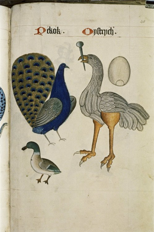 heaveninawildflower:  Peacock and Ostrich from The Tudor Pattern Book. Bodleian Library, MS. Ashmole 1504. Between 1520 and 1530. http://bodley30.bodley.ox.ac.uk:8180/luna/ servlet/view/search/what/MS.+Ashmole+1504. Wikimedia.
