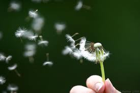 "My four-year-old daughter plucked a dandelion fuzzy this morning. ""Mama, is it right, first you blow, and then you wish on it?"""
