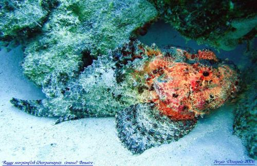 Raggy Scorpionfish (Scorpaenopsis venosa) Bonaire - Nederland antilles - Caribbean Sea Scorfano tropicale by Sergio Discepolo 2006 Also known as Raggy Stingfish and Yellow-Nose Scorpionfish.Found singly in sheltered bays and lagoons.Highly dangerous and poisonous with venomous spines along its back if trodden on etc. Although if disturbed it will move off out of harms way. They feed on small fish and swimming invertebrates.Length - 20cmDepth - 2-72mWidespread Indo-Asian PacificScorpionfish are masters of camouflage, enabling them to lie in wait for their victims to come close, before lunging forward and inhaling their prey with their large mouths.When disturbed they raise the spines along their backs and will usually move off out of harms way, however, if cornered they are able to charge at considerable speed.Highly dangerous and poisonous with venomous spines along its back if trodden on etc.