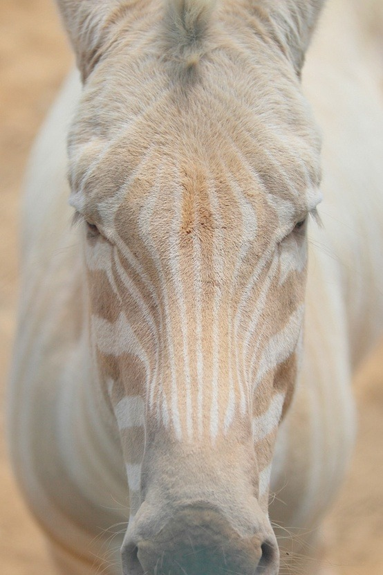 earthlynation:  white zebra source