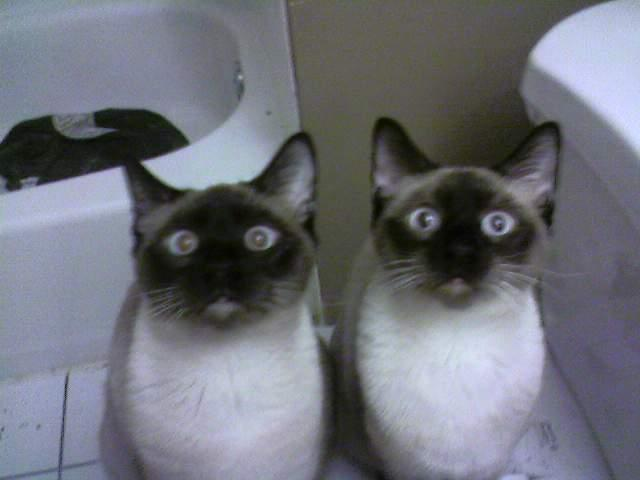 astorytold:  Centereach, Long Island September 26, 2012 Two YOUNG Declawed Siamese Cats       CONTACT Valerie:   wardvalarie@aol.com FOR IMMEDIATE ADOPTION Before Being Literally Thrown OUT! Declawed!These two beautiful Chocolate Seal Point Siamese brothers are 1 year and 4 months old, (born in June 2011) neutered, declawed, tested and up to date on shots. They were rescued from a breeder when they were young and now they are in peril again. They are living in a bathroom temporarily and if not adopted within a week, will be let outside to fend for themselves. If you knowANYONE interested call us immediately.631-326-7042 www.CPRLI.org Valarie Wardwardvalarie@aol.com  Hopefully someone can give these cuties a home and make them just as happy as Riley!!!