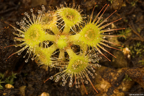 "nybg:  How a Sneaky Sundew Hurls Prey Into its Traps 'Cause when you're covered in biomechanical trebuchets, veganism is too easy. Drosera glanduligera is like any other sundew at first glance, covered in small, hairlike tentacles with globs of sticky liquid at their tips. But unlike its rather pedestrian relatives, this Aussie native is far from complacent about its hunting. Those whip-shaped tentacles you see in the photo above are capable of snagging and throwing meals straight into the plant's glue trap. The movement happens fast—faster than a Venus flytrap's chomper snapping shut—and is powerful enough to snap the tentacle's ""hinge"" in the process. But for a plant that replaces its leaves every three to four days, using up a few tentacles for dinner is workaday. Scientists have known about these tentacles for some time, at least in this species, but research is only just now picking up on the phenomenon. Click through for more. —MN"