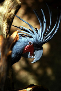 animals-plus-nature:  Black Palm Cockatoo by floridapfe on Flickr.