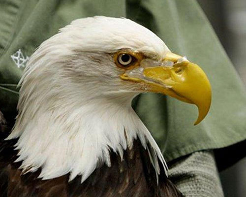 This bald eagle named Beauty was fitted with a remarkably life-like prosthetic beak. More than 5 years ago, she narrowly escaped a poacher after a bullet shattered her beak. Until the prosthetic was attached, Beauty relied on human handlers to feed her, but thanks to the new beak she can again grasp her own food.9 inspiring animals that use prosthetics
